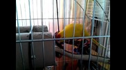 Папагал порода Какарики ( Чочи )