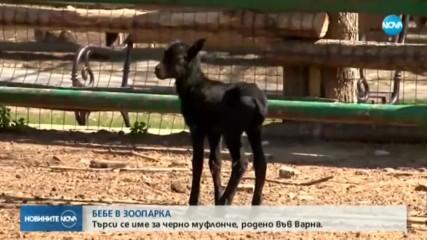 Търси се име за черно муфлонче, родено във Варна