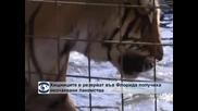 Хищниците в резерват във Флорида получиха неочаквани лакомства