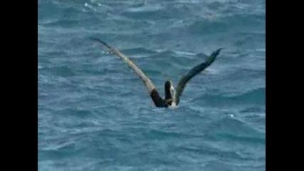 Акули ловят албатроси (потресаващи кадри)