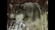 Wolf - Native American ~ Sacred Spirit ~ Yeha - Noha