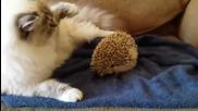 Коте сяда върху таралеж . (смях)