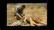 Човек яде разложена зебра