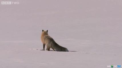 Лисица ловува в снега!