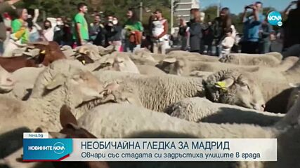 Овце задръстиха улиците на Мадрид