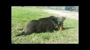 Лов на прасе в Лрд с.медовница