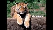 Кючек Тигре