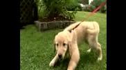 Кучета 101 Златен Ретривър