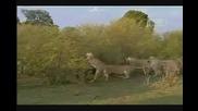 Женски хипопотам показава издържливост срещу прайд лъвове!