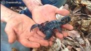 Най-големият вид скорпион в света