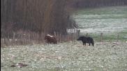 Понита спасяват жена от разгневено диво прасе