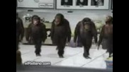 maimuni tancuvat