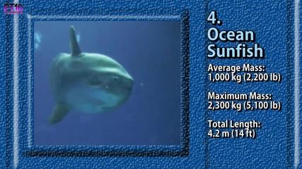 10-те Най-големи риби на Земята