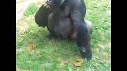 monkey funny video singe drole compilation funniest pet debiloguys viral