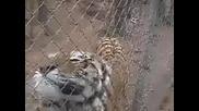 Тигър маркирва човек