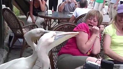 Пеликани си играят с жена в ресторант