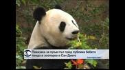 Показаха за пръв път пред публика пандата в зоопарка в Сан Диего