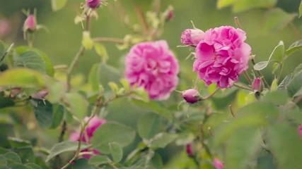 Празник на розата - една 110-годишна българска традиция