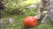 Снежен Леопард си Играе с Тиква за Хелоуин...