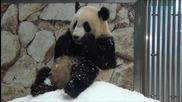 Най-сладкото животно! - Пандата