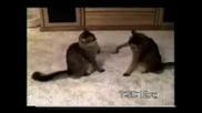 Най - Смешните Котки На Планетата