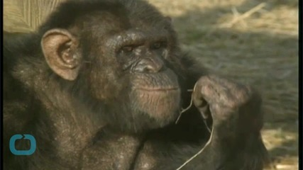 Rejected Infant Chimpanzee Matched With Surrogate Mom