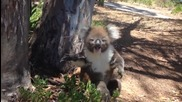 Смешна коала пищи истерично :d