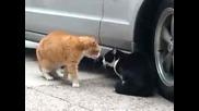 Побъркани котки се карат