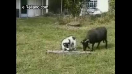 !!!!!!куче борбата с козa!!!!!! ne e za ispuskane smqx