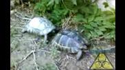 Костенурки се ухажват