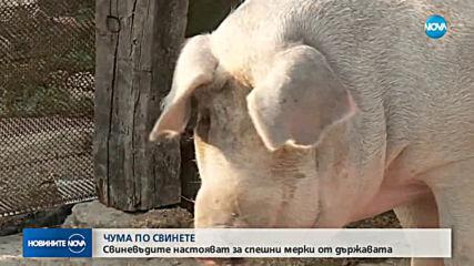 Заради африканската чума: Евтанизират домашни прасета около Мизия