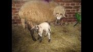 kozite i ovcete mi