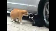 луди котки се карат