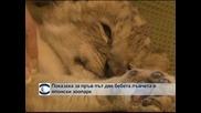 Показаха за първи път бебета лъвчета в японски зоопарк