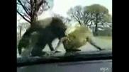 maimuni se seksat.