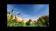 Овце срещу крави