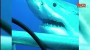 Най-голямата акула заснета някога - 7метра дължина!