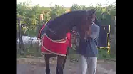 конят шампион от село Белинци