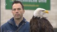 Орел срещу дрон! Полицията в Холандия обучава орли за лов на нелегални дронове