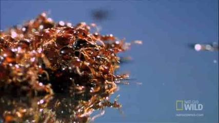 Огнените мравки