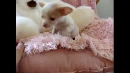 Най - Сладкото Бебче Чихуахуа