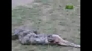 змия повръща генгуру