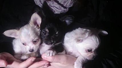 Кученца в продажба 23-02-2018 год.
