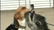 Енот и куче
