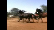Красиви коне тичат по двора