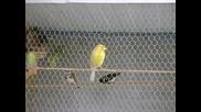 Жълто канарче пее