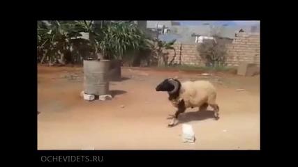 Свиреп овен спира работник с товарна количка