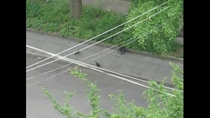 Нагли Свраки Гонят Котка