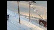 Досадна врана се гаври с вързано куче! Дърпа го за опашката и го дразни супер много!