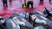 Faroe Islands: Over 1,400 dolphins slaughtered in one day as part of traditional hunt *DISTRESSING CONTENT*